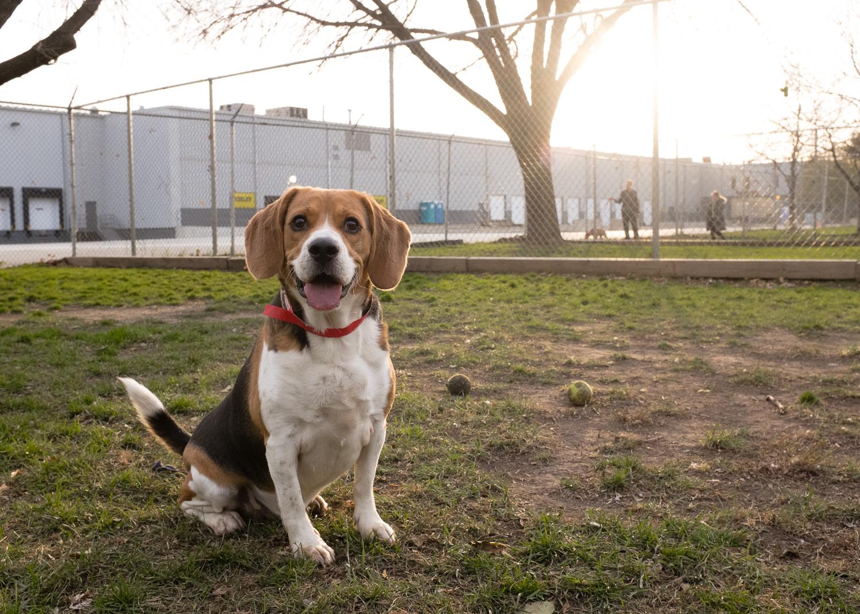 Beagle, Adoptable Dog