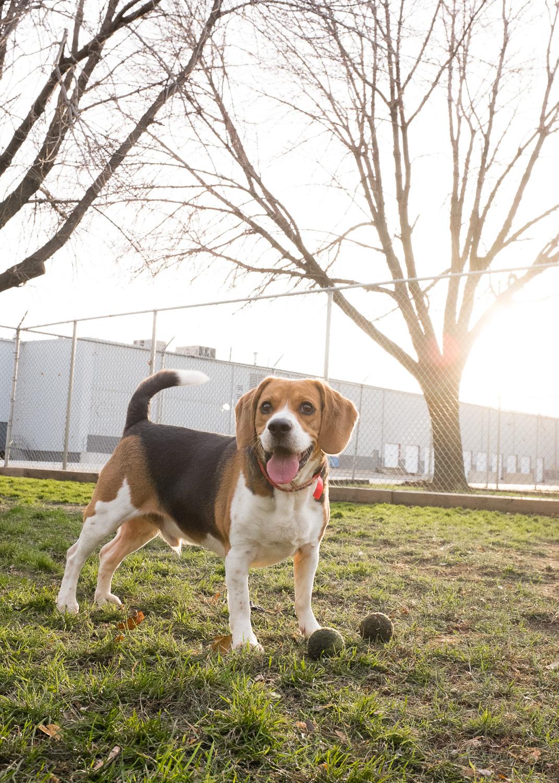 Beagle, Dopg