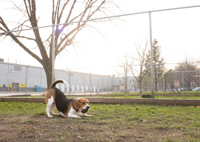 Beagle, Dog Portrait