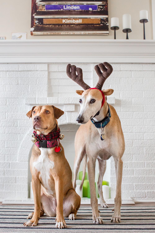 Greyhound and American Bulldog, Chicago Dog Photography