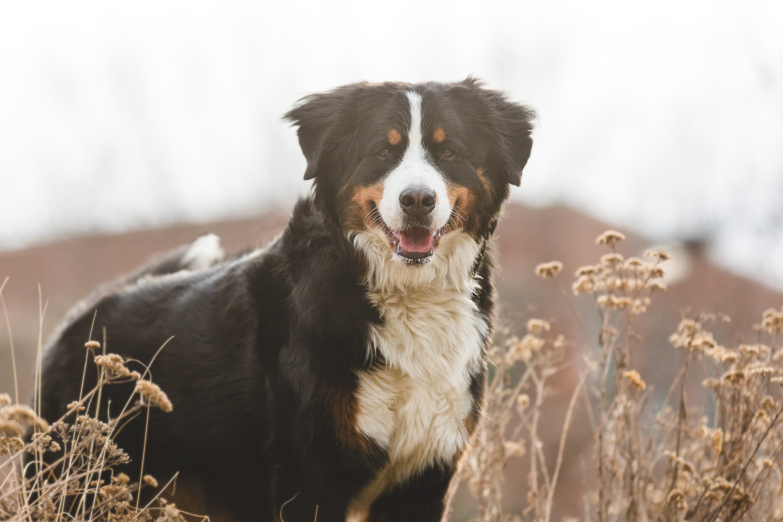 Bernese Mountain Dog, Chicago Dog Photography