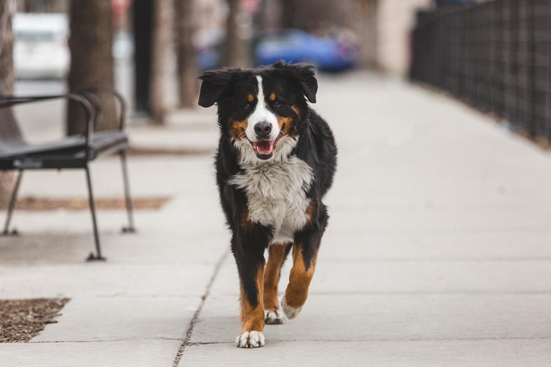 Bernese Mountain Dog   Chicago Dog Photography