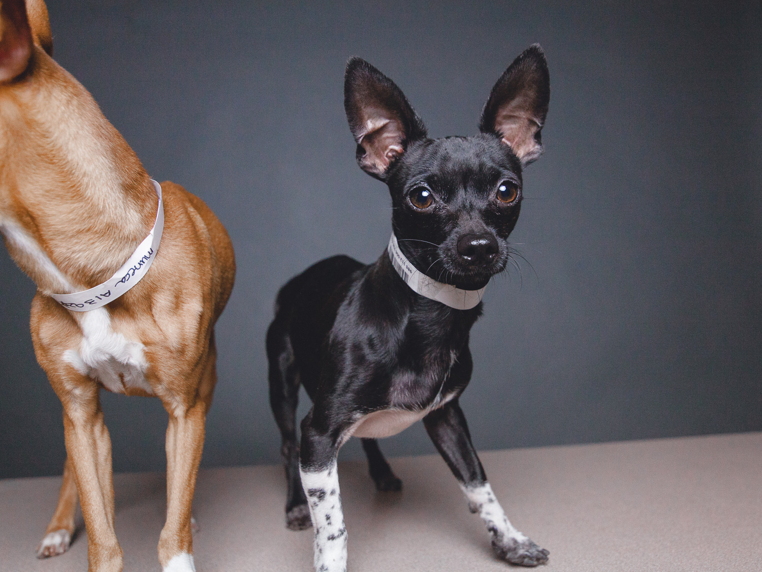 Adoptable Chihuahuas in Chicago