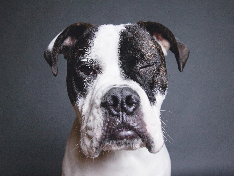 Adoptable Old English Bulldog