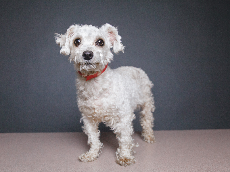 Lola, Miniature Poodle