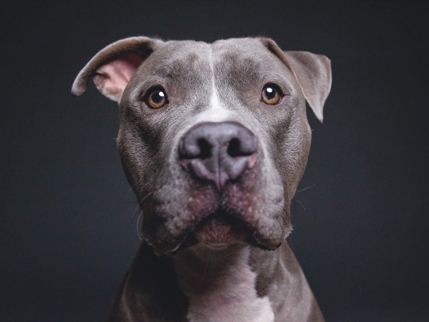 Adoptable Pit Bull in Chicago