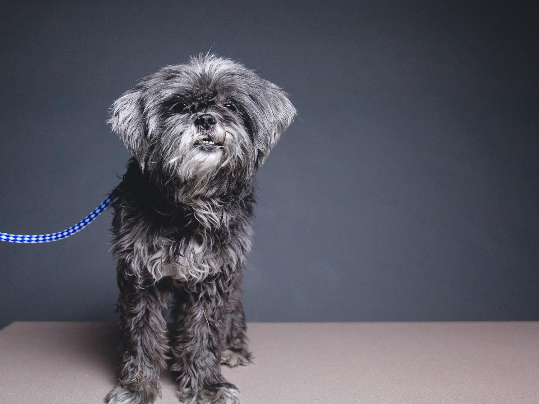 Smokey, Shih Tzu/Poodle Mix