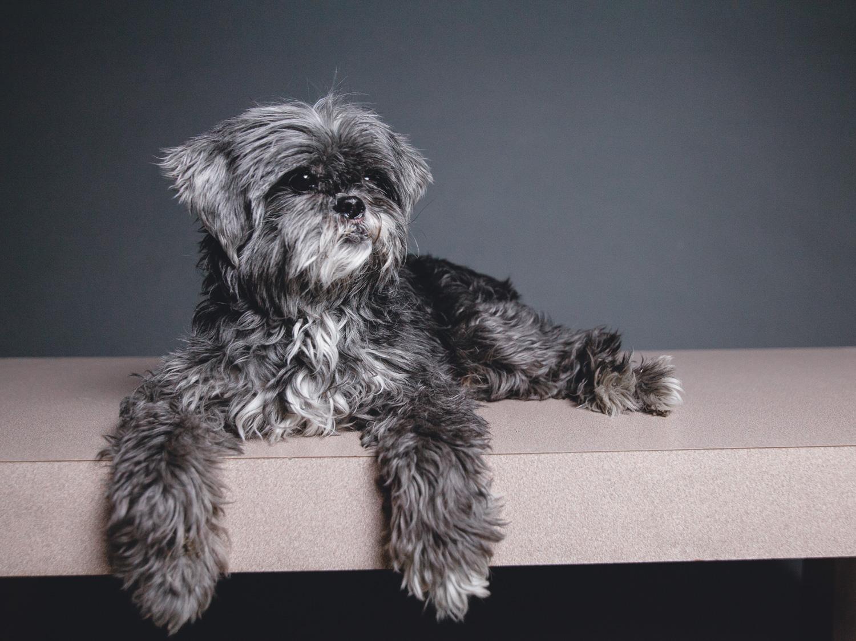Shih Tzu/Poodle Mix Needs Foster