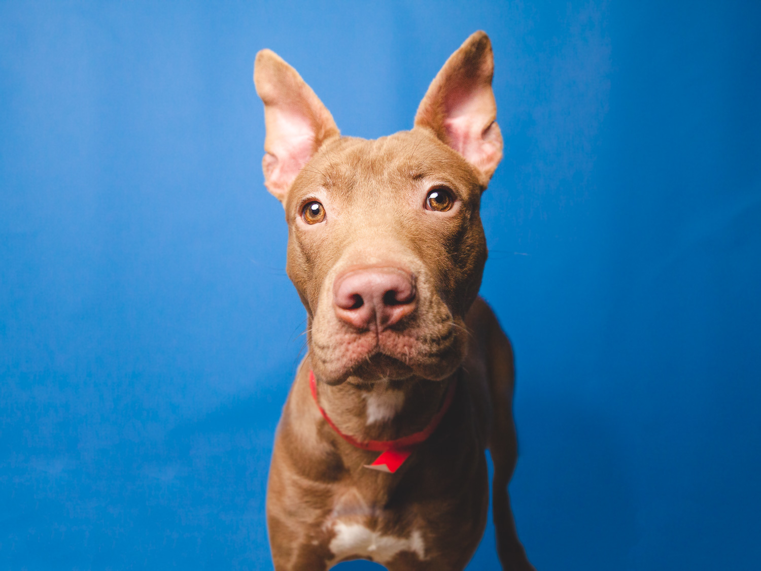 Adoptable Pit Bull Mix In Chicago