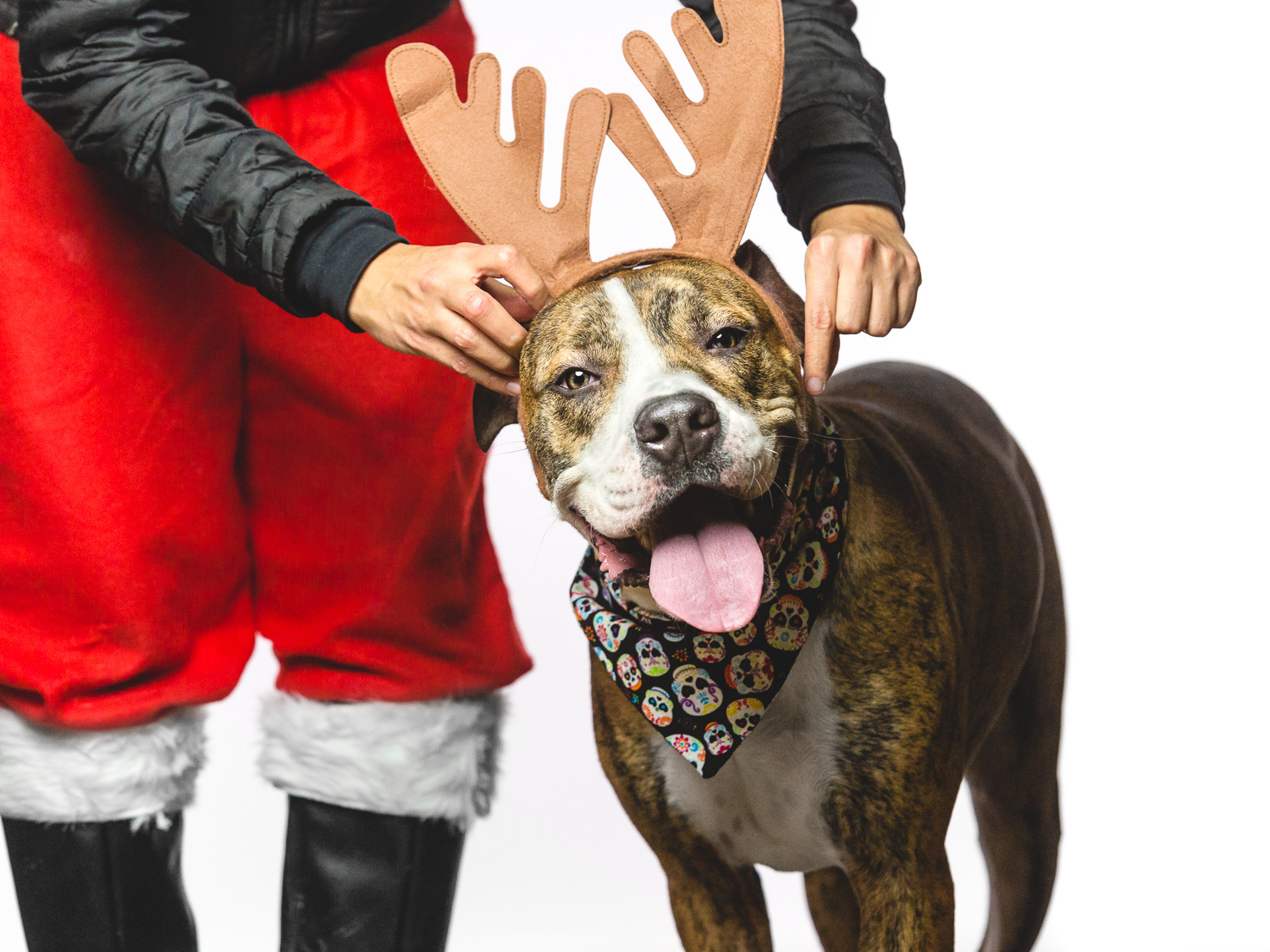 Adoptable Boxer Mix in Chicago Shelter