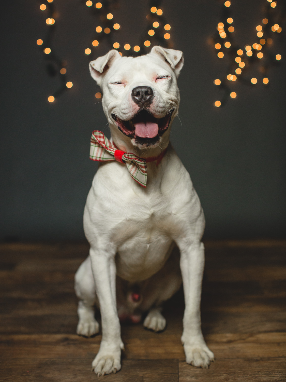 Klondike, American Bulldog Mix