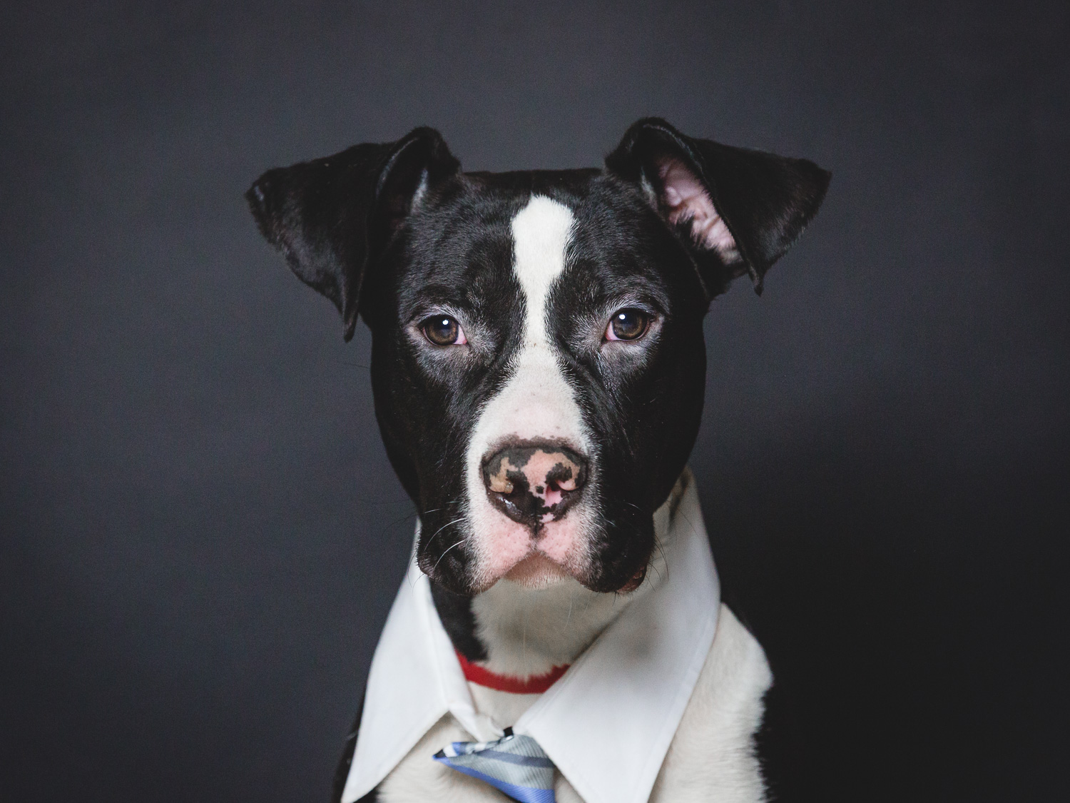 Foster Needed for An American Pit Bull Terrier In Chicago