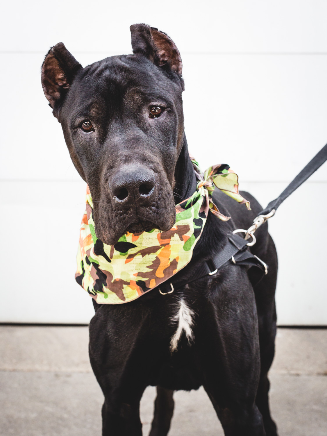 Adoptable Canis Panther In Chicago