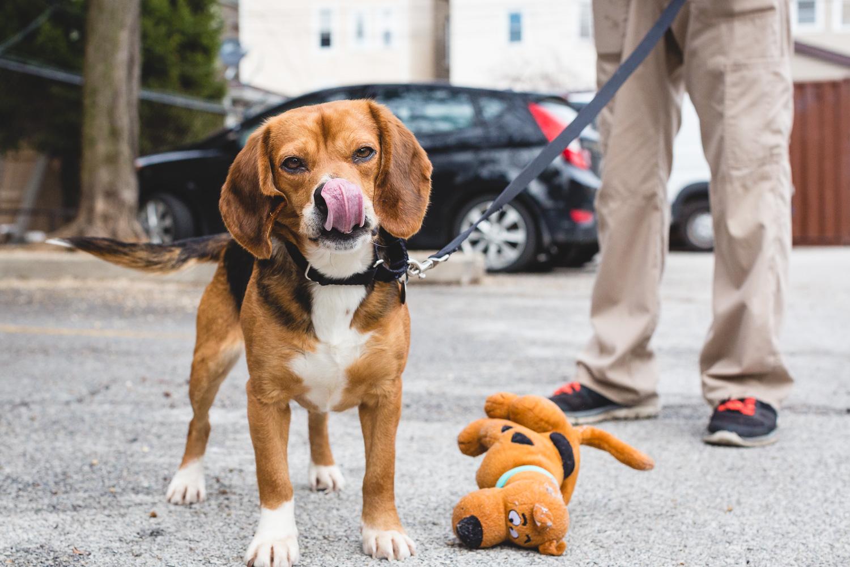 Adoptable Beagle At PAWS Chicago