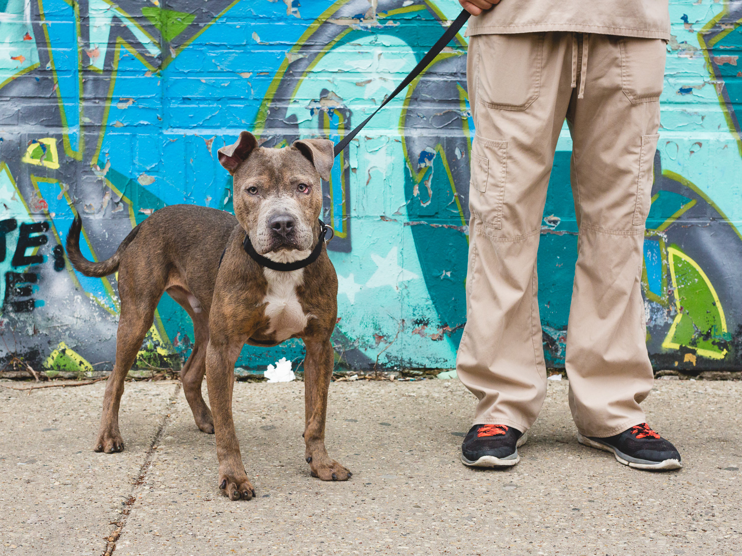 American Staffordshire Mix At PAWS Chicago