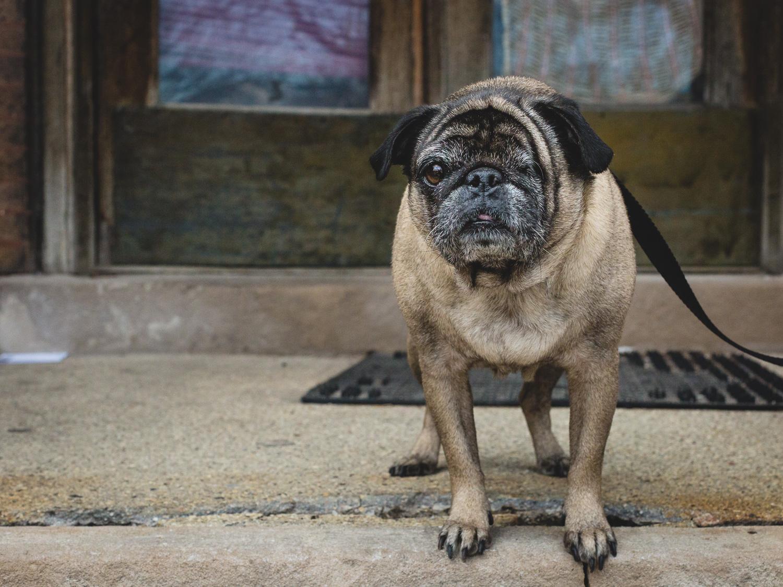 Tigris, Pug at PAWS Chicago