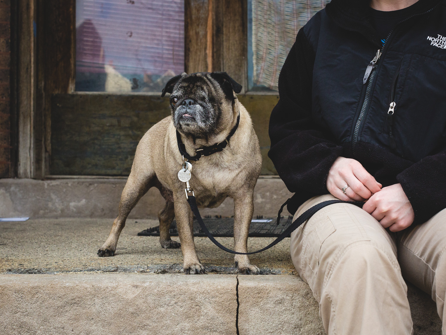 Adoptable Pug At PAWS Chicago
