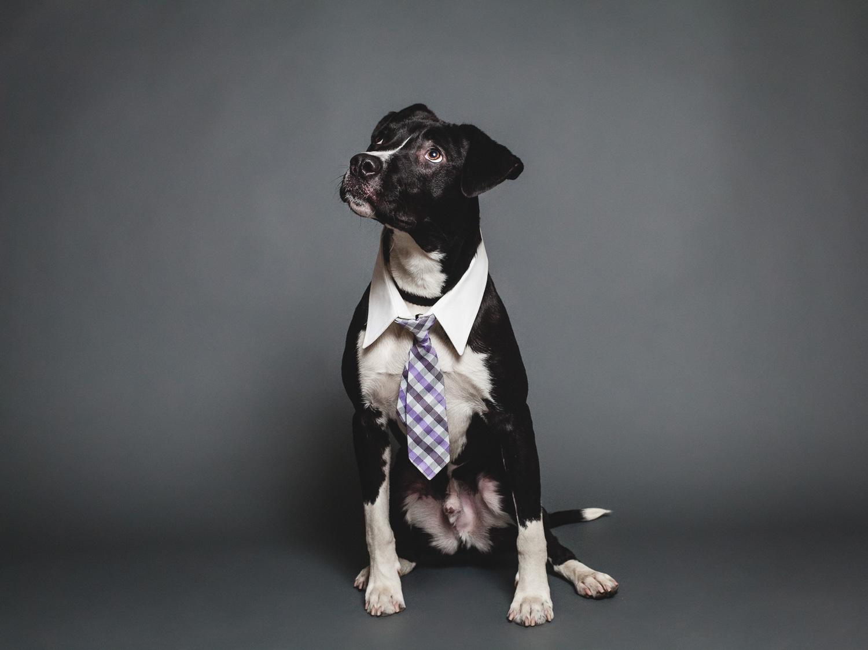 Adoptable Labrador Retriever Mix At PAWS Chicago