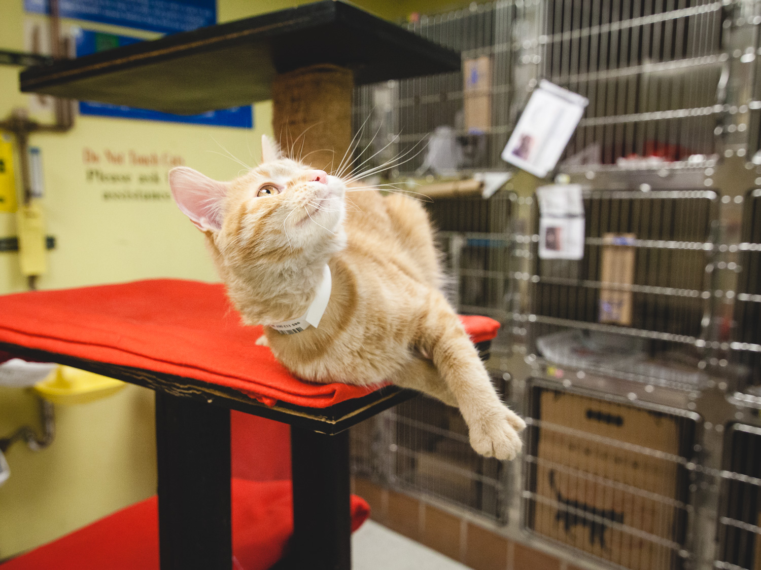 Adoptable Cat At Chicago Animal Care And Control