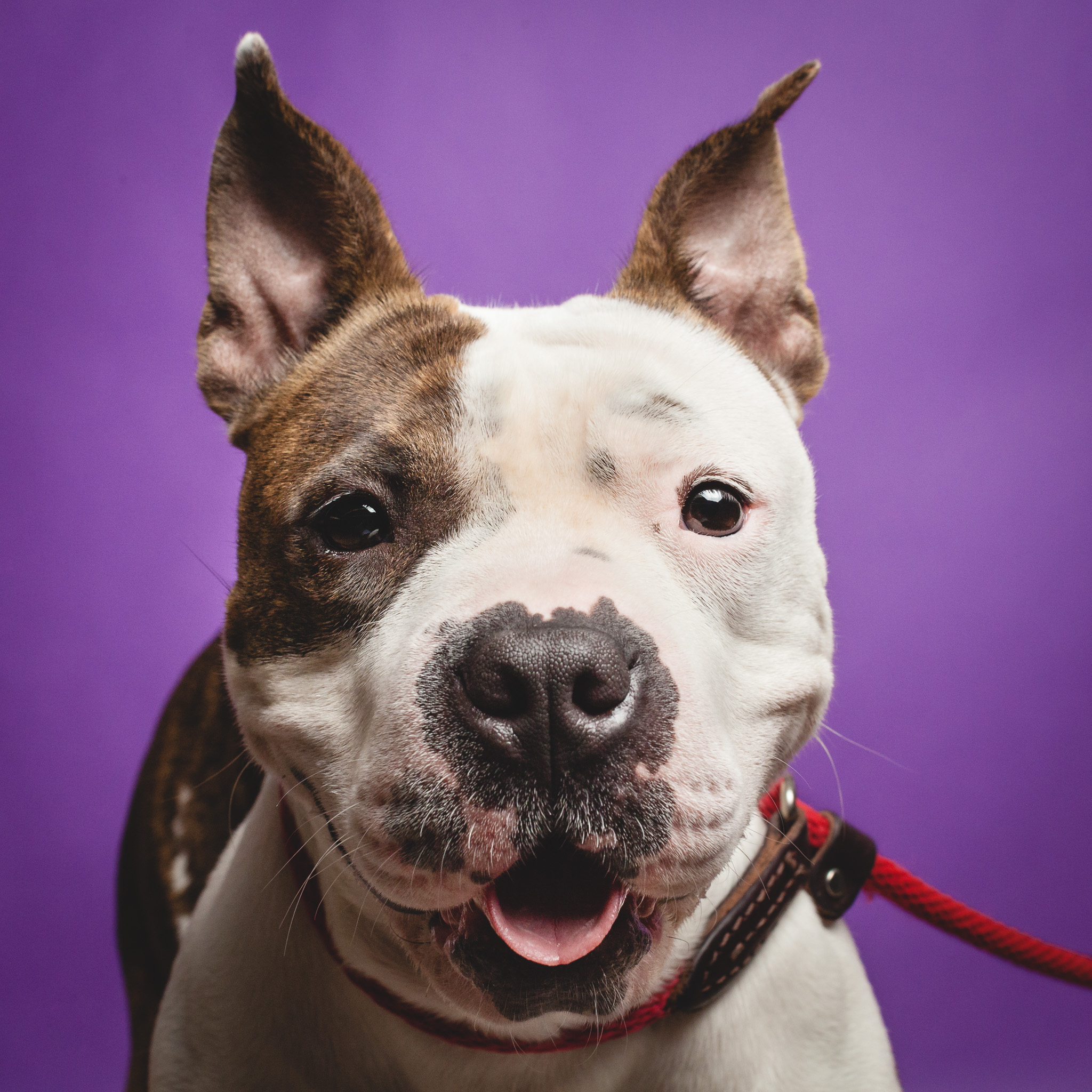 Pit Bull Terrier Mix, Chicago Animal Care and Control