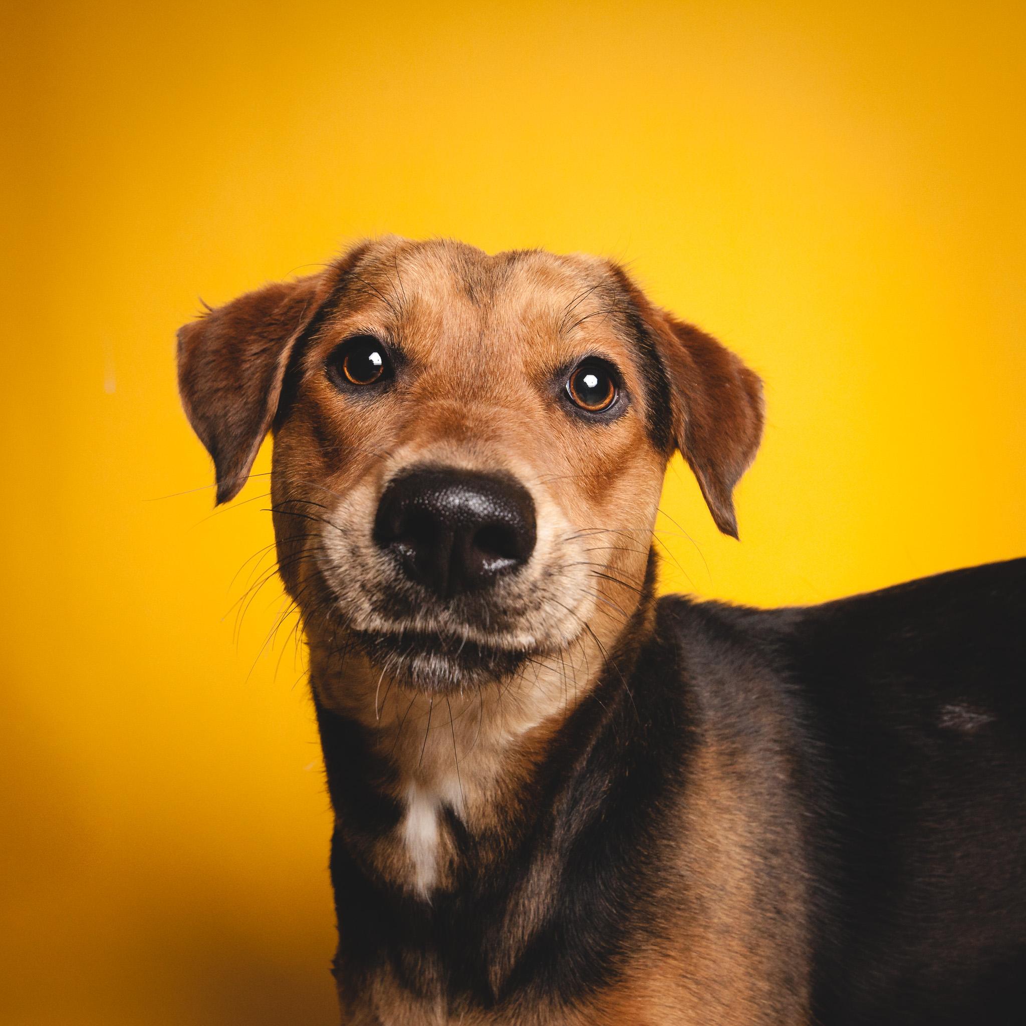 German Shepherd Mix, Chicago Dog Photography