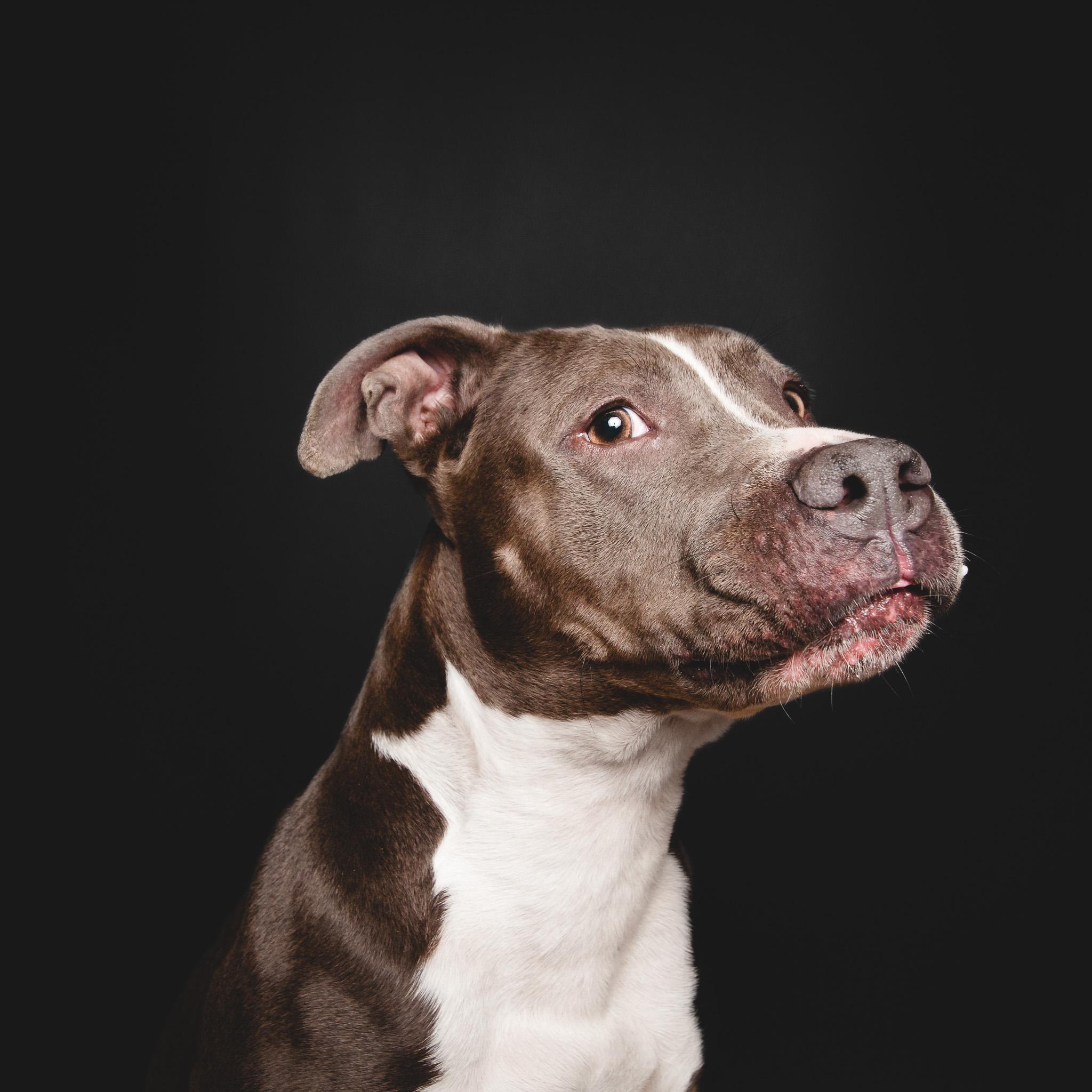 Pit Bull Terrier, Chicago Dog Photographer