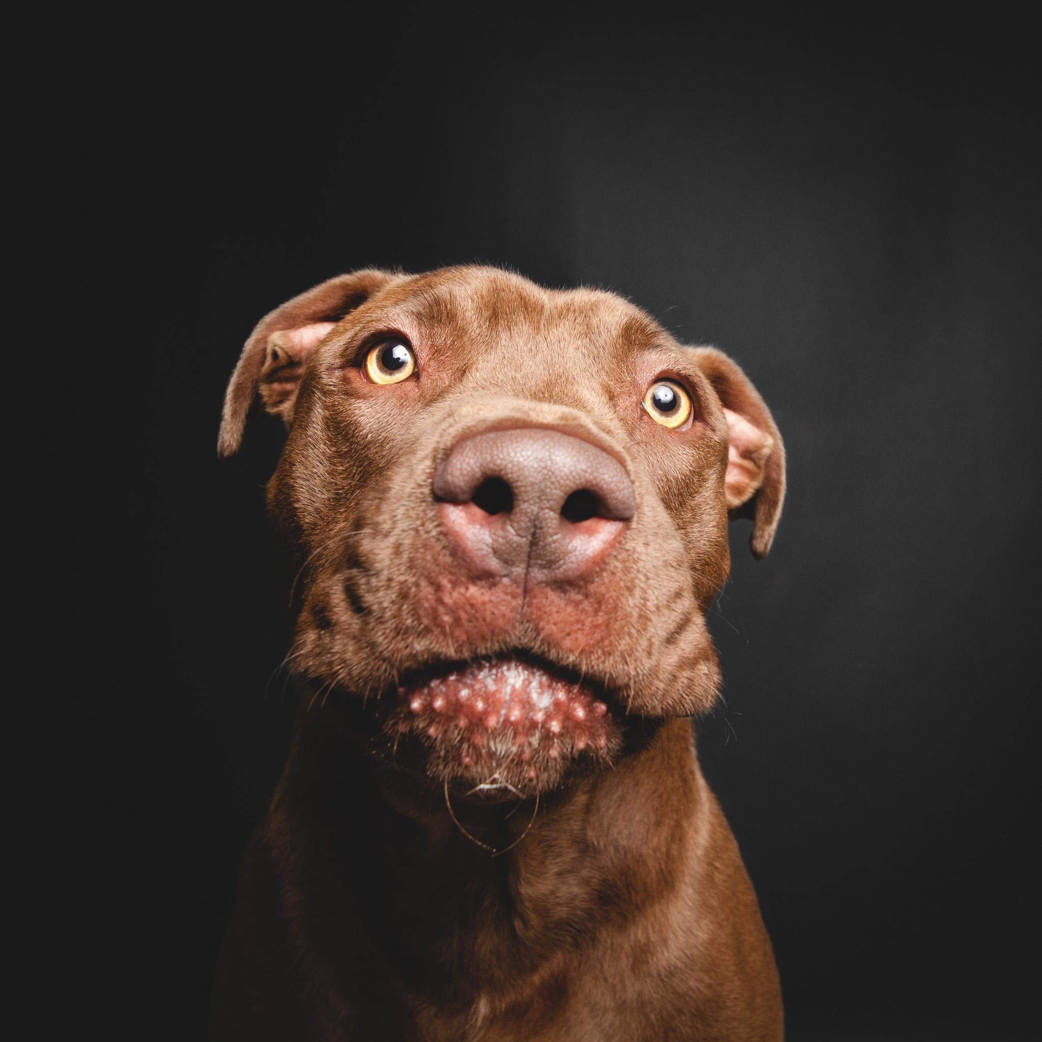 Labrador Retriever Mix, Chicago Animal Care and Control