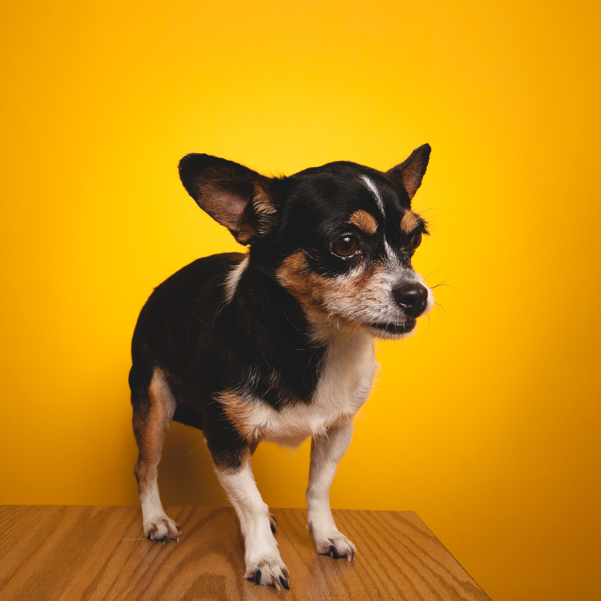 Chihuahua, PAWS Chicago
