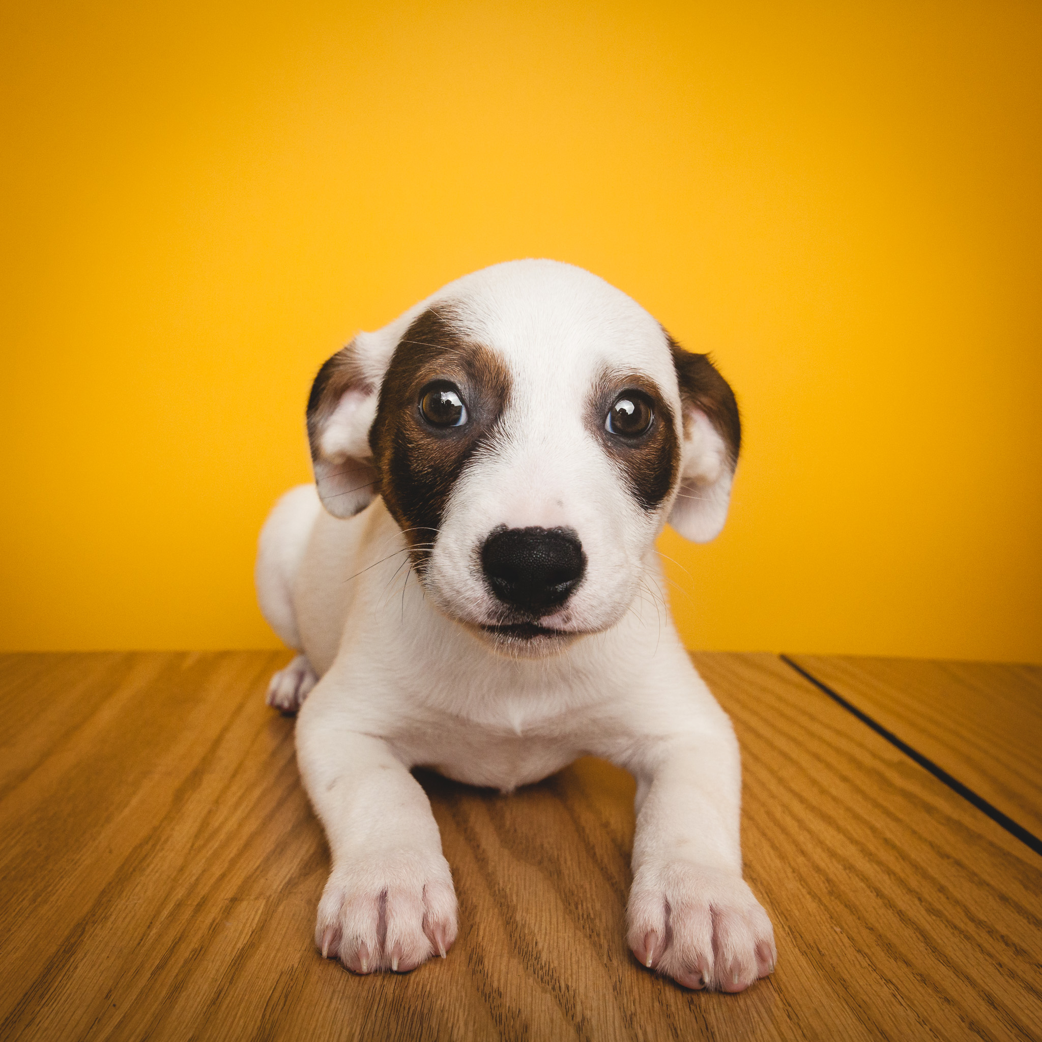 Rescue puppy, Amstaphy Pet Photography