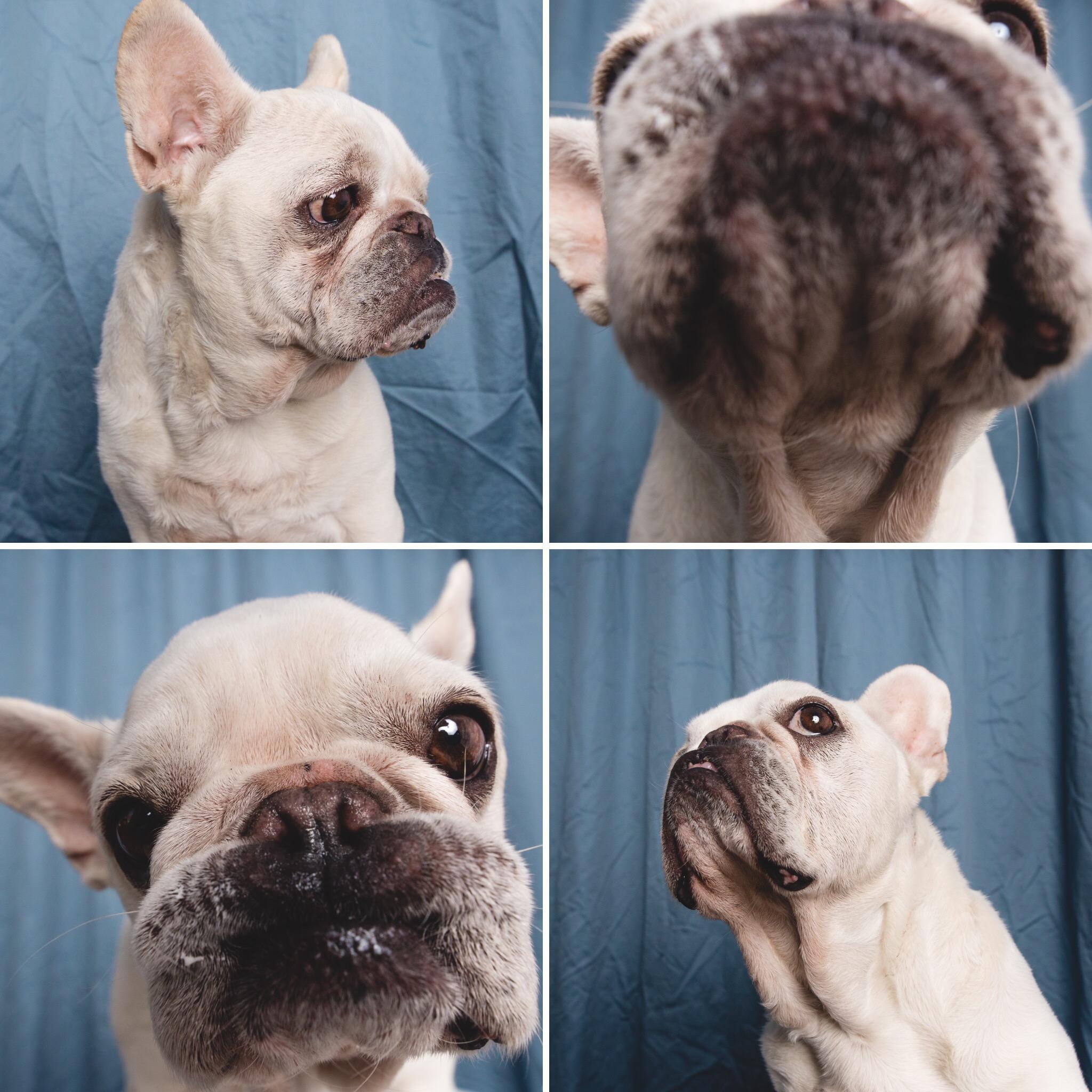 French Bulldog, AMSTAPHY Pet Photography