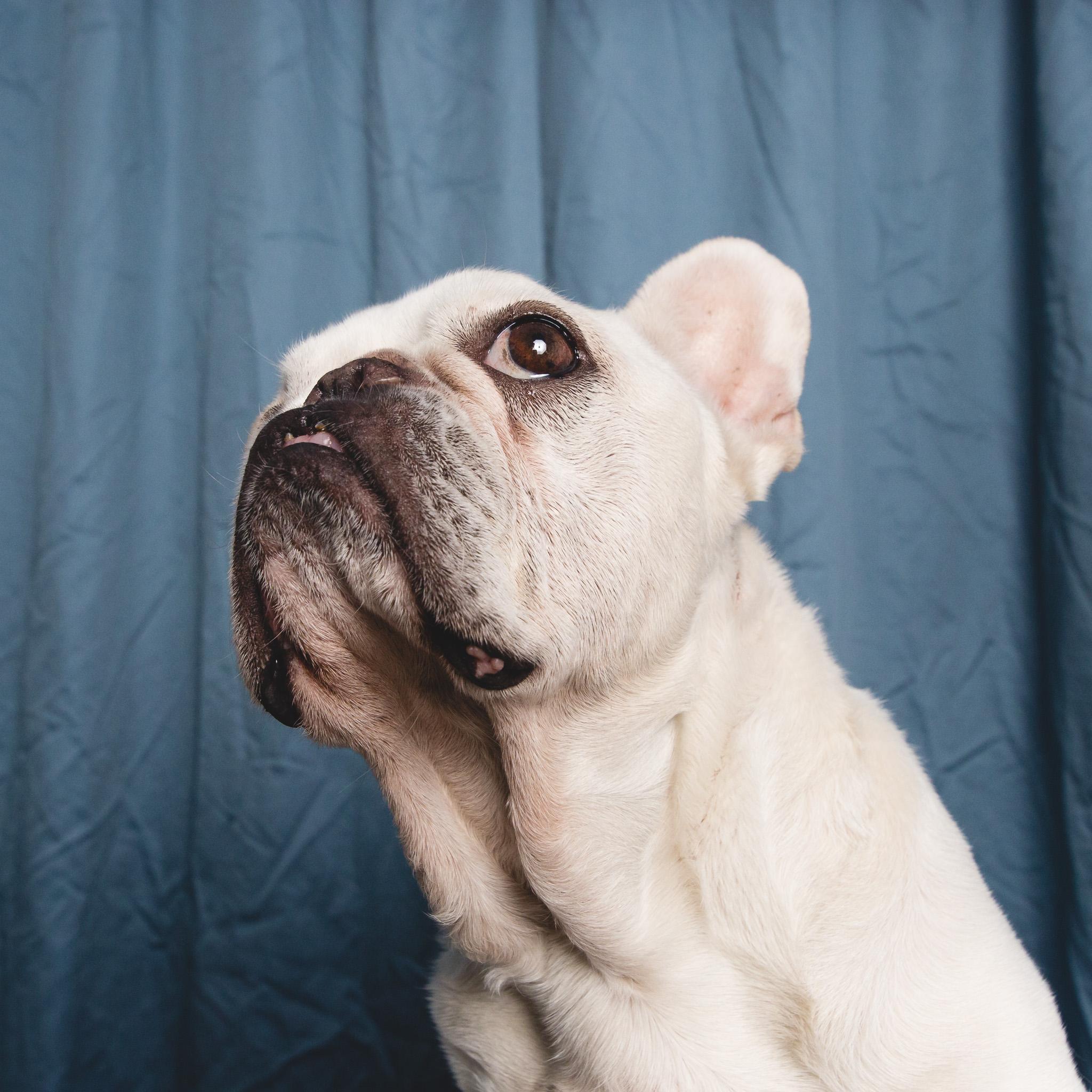 French Bulldog Portrait | AMSTAPHY, Pet Photography