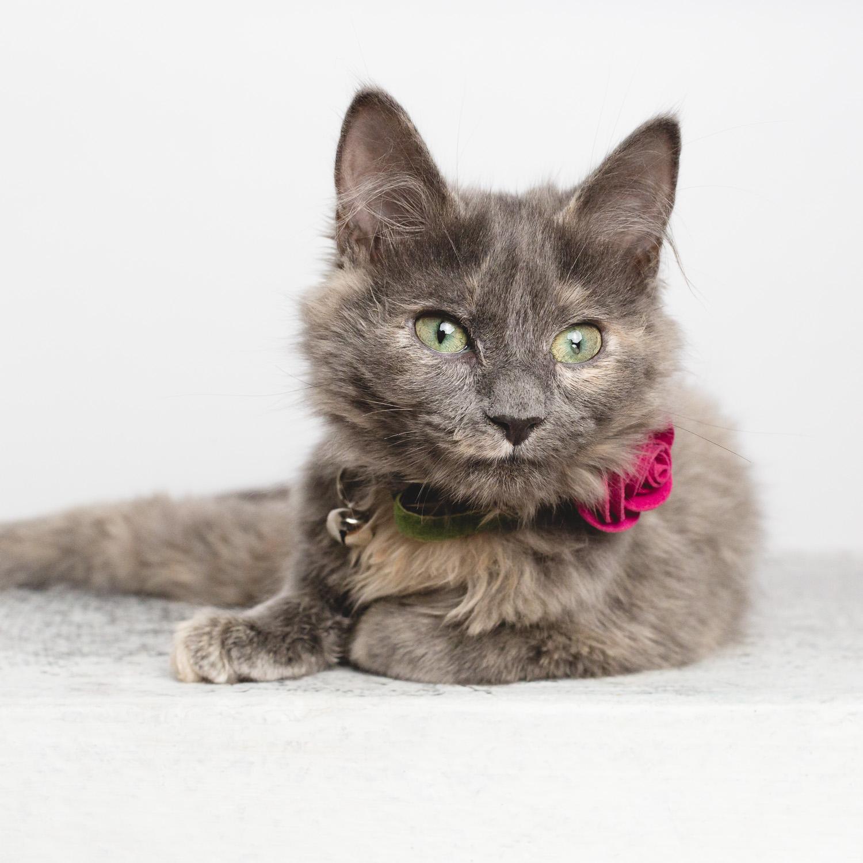 Cat portrait by AMSTAPHY Pet Photography