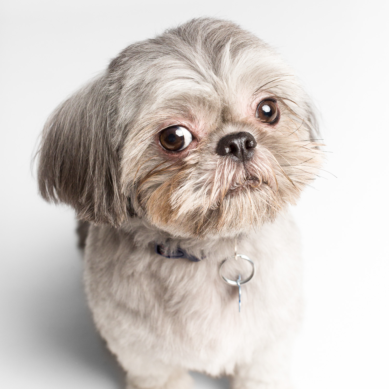 Shih Tzu portraits, Chicago pet photographer