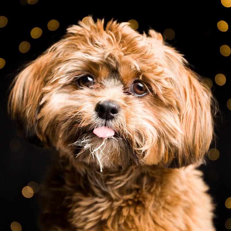 Shih Tzu puppy at AMSTAPHY Pet Photography