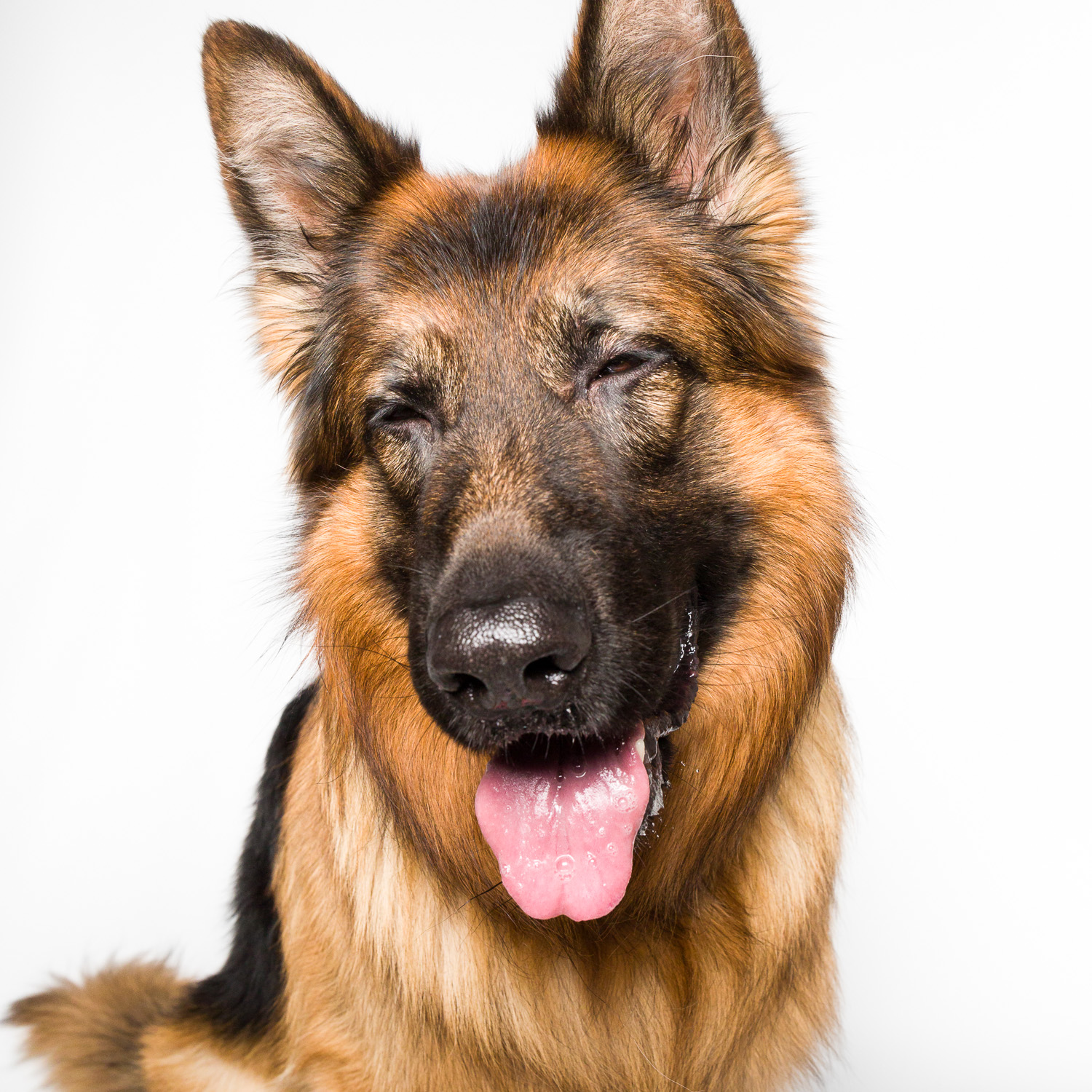 German Shepherd smiling with AMSTAPHY pet photography