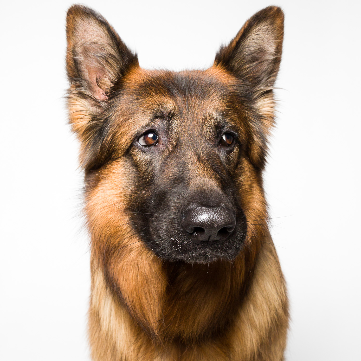 German Shepherd side-eye with AMSTAPHY pet photography