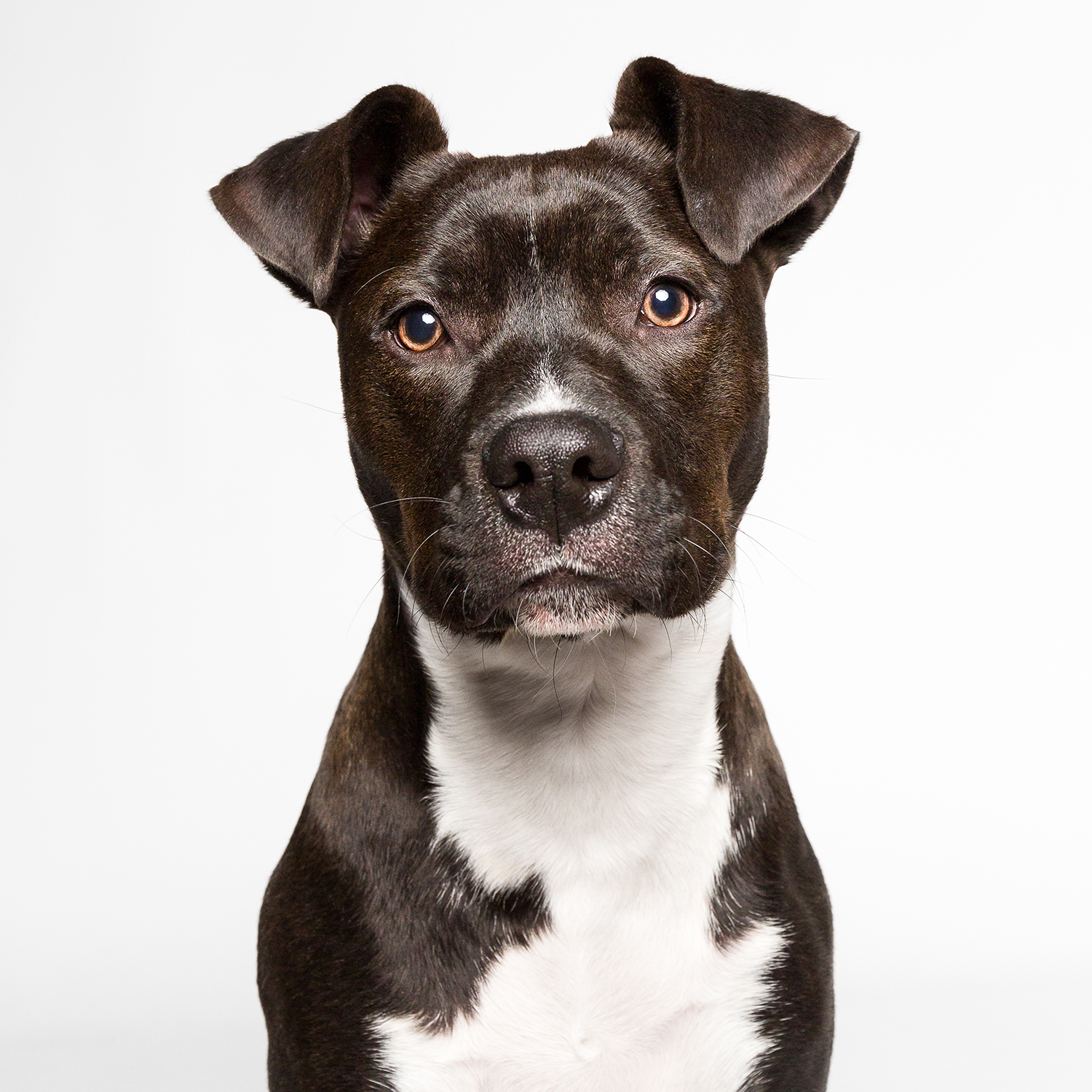 Portrait of Pocket Pittie by Chicago dog photographer
