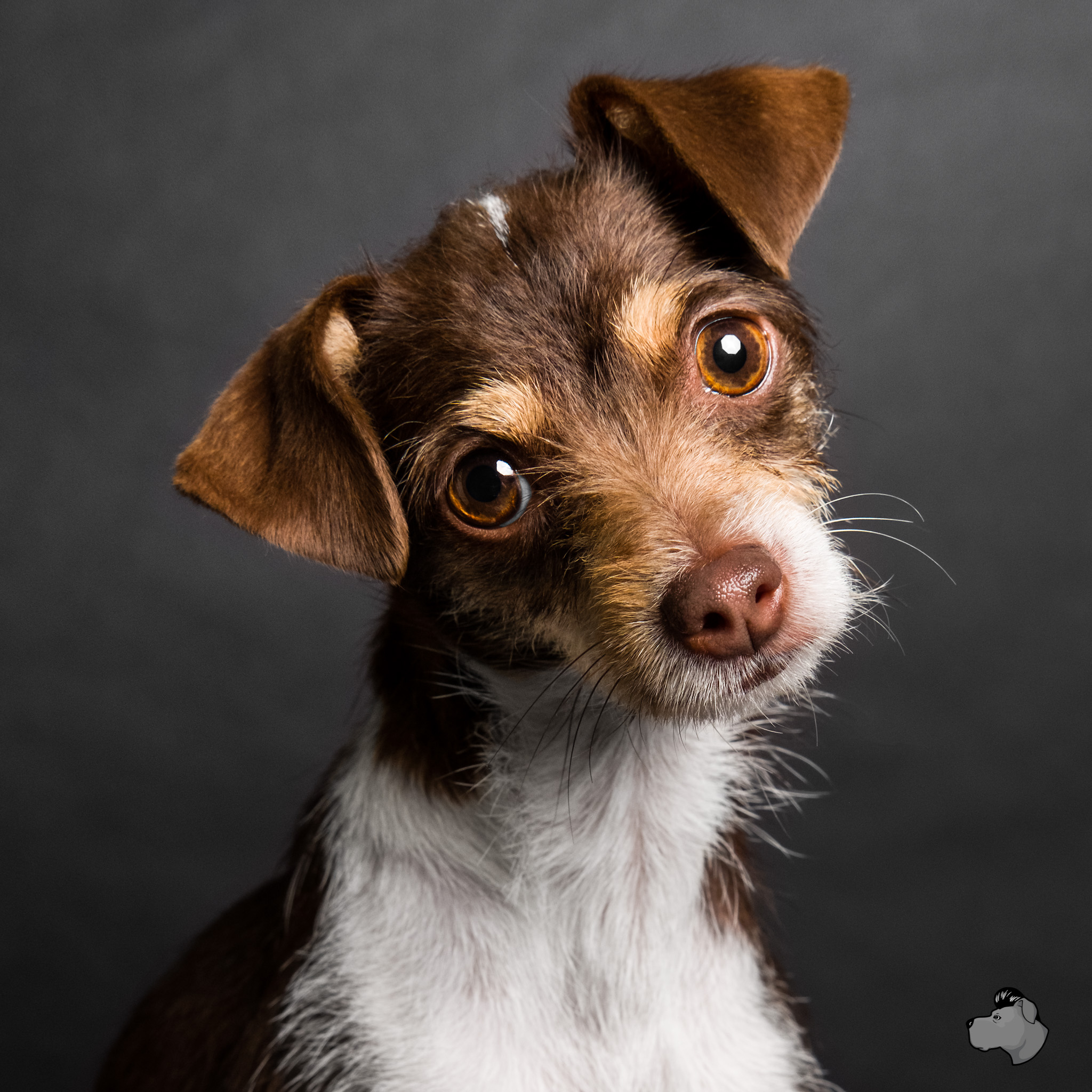 Adoptable chihuahua at PAWS Chicago, AMSTAPHY pet portrait