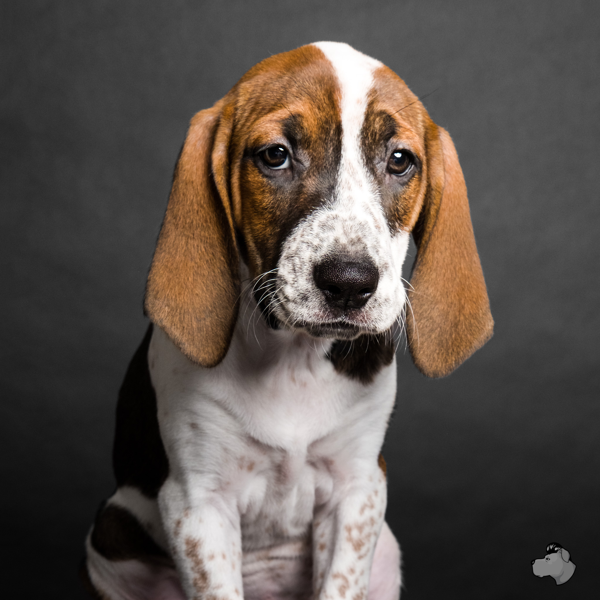 Adoptable beagle at PAWS Chicago, AMSTAPHY pet photography