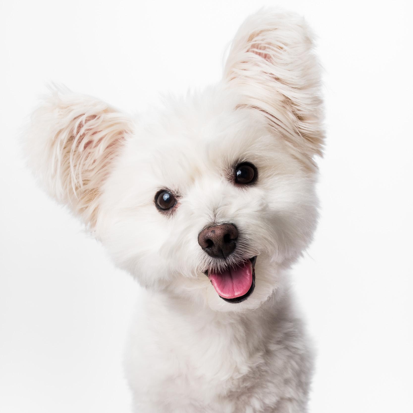 Dog portrait, AMSTAPHY Pet Photography
