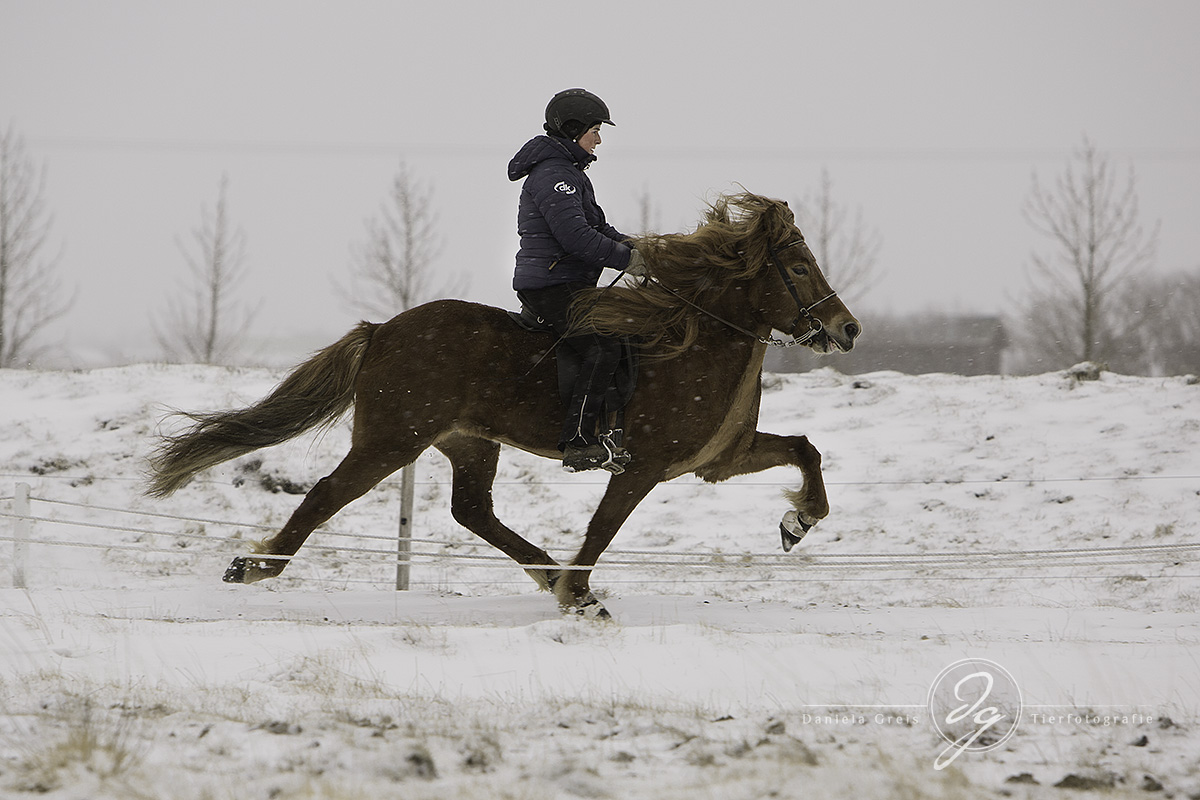 One of the beautiful horses at the snowy oval track at Austurkot.