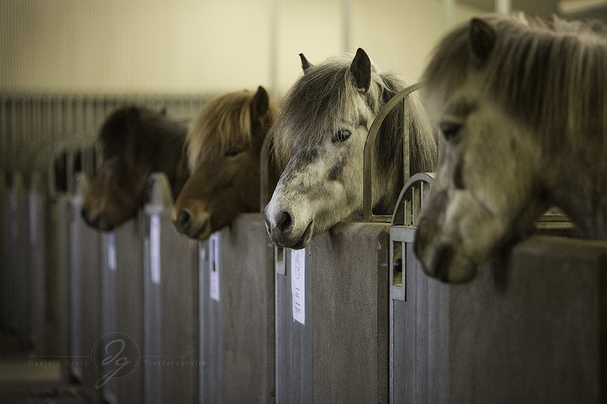 Some of the lovely horses of Strandarhöfuð