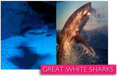 shark+week+great+white+sharks.jpg