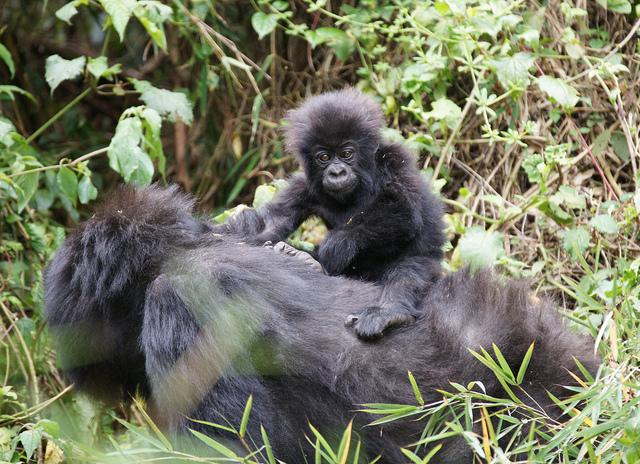 Baby Mountain Gorilla by duplisea on Flickr
