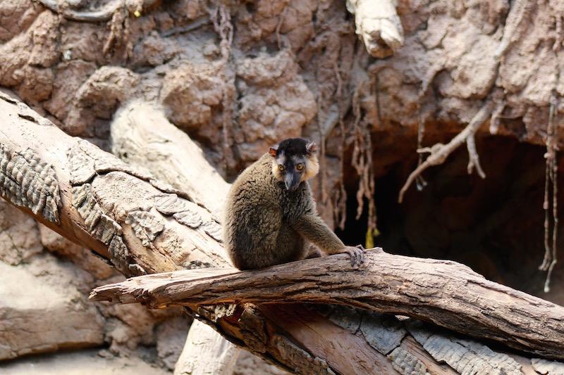 lemur bronx zoo onecarryon.jpg