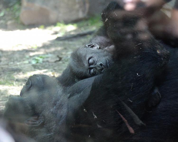bronx zoo baby gorilla.jpg