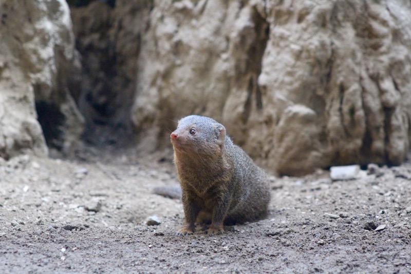 dwarf mongoose onecarryon.jpg