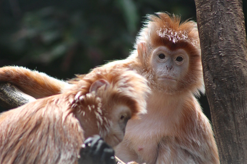 ebony langur bronx zoo onecarryon.jpg