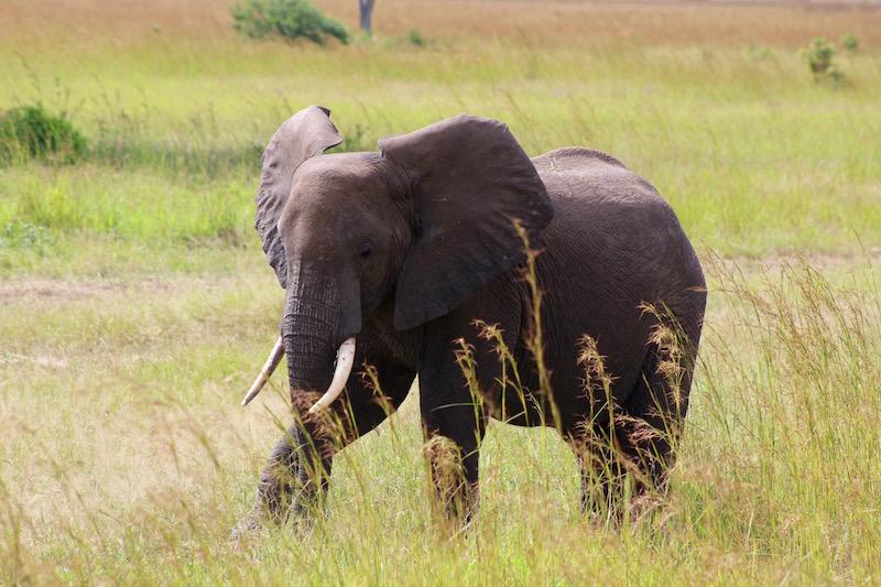 An irritated bull in Mikumi National Park, Tanzania