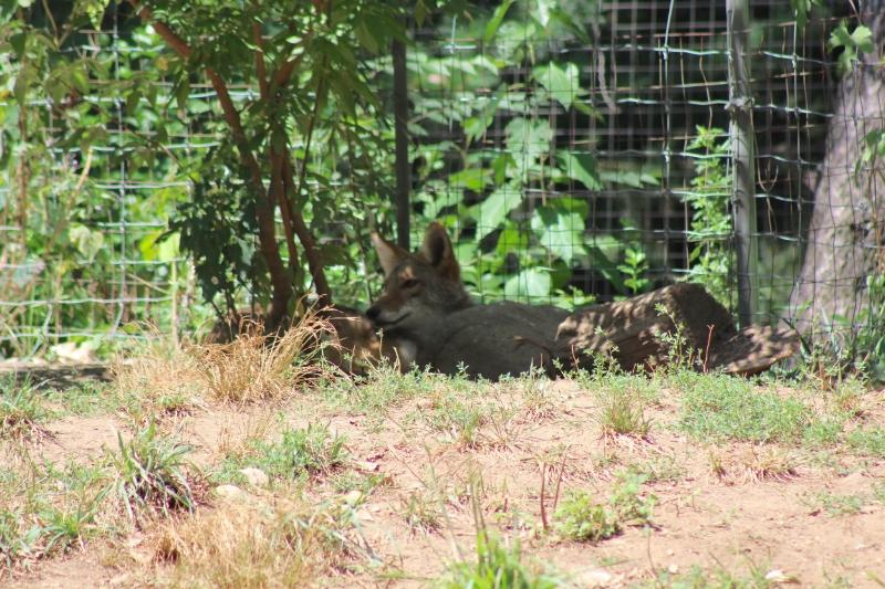 wolf pups queens zoo.jpeg